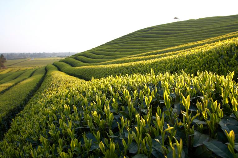 Amorepacific's green tea plantation on Jeju Island