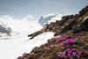 ALPINE SNOWBELLS SURVIVING AGAINST THE ODDS