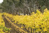 Peter Lehmann botrytis semillon vineyard in autumn (Photo: John Kruger)