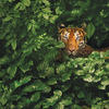 A Bengal tiger hides behind the bushes (Getty Images)