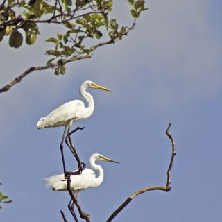 Egrets-perching-on-branch-in-Sundarban-Mangrove-Forest-Getty-Images1