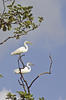 Egrets perching on branch in Sundarban Mangrove Forest (Getty Images)