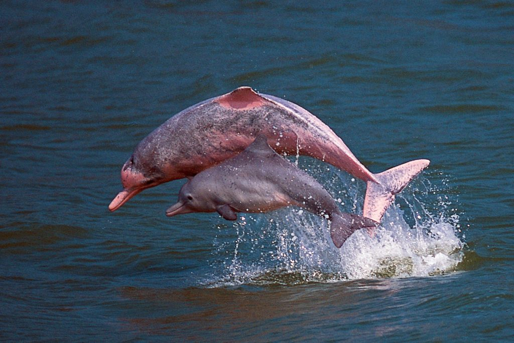 pink dolphins hong kong