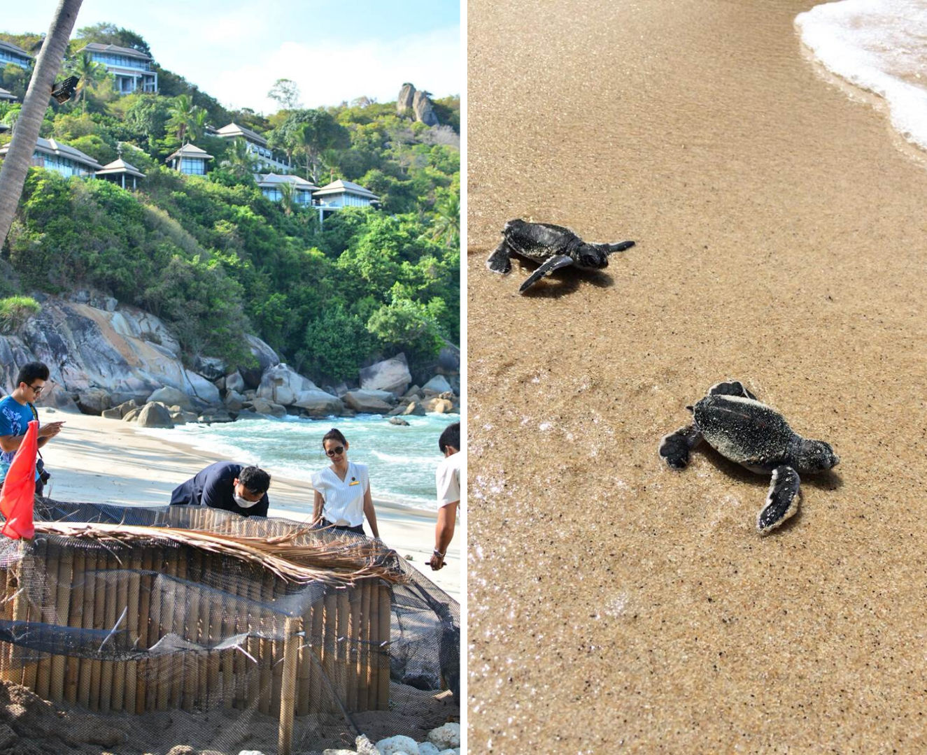 Left: Banyan Tree Samui's CSR team had erected a fence around the turtle nests to protect the eggs from predators.  Right: Newborn green turtles begin life with an immediate sprint to the sea. (Image credit: Banyan Tree Samui)