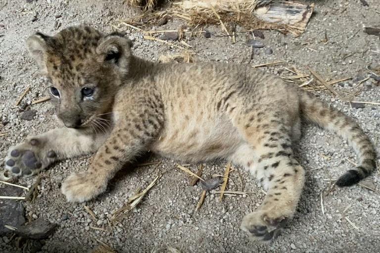 Lion cub Simba born in Singapore via artificial insemination