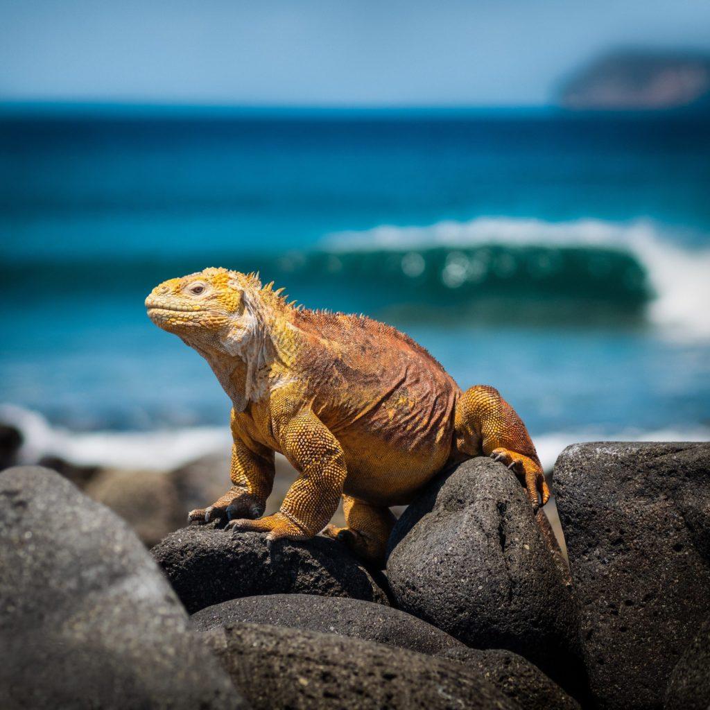 Iguana at ecotourism destination