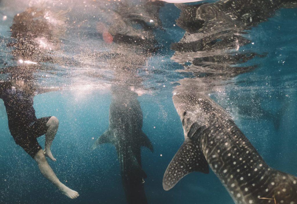 Sharks at ecotourism destination