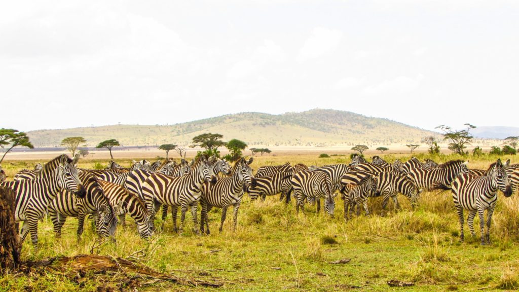 Zebras at ecotourism destination