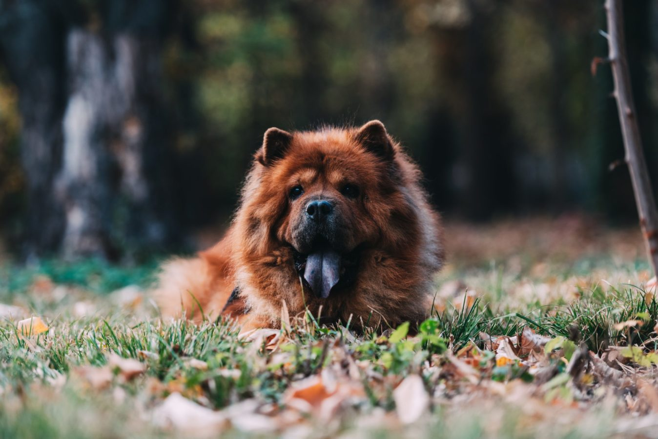 10 of the Most Expensive Dog Breeds in the World