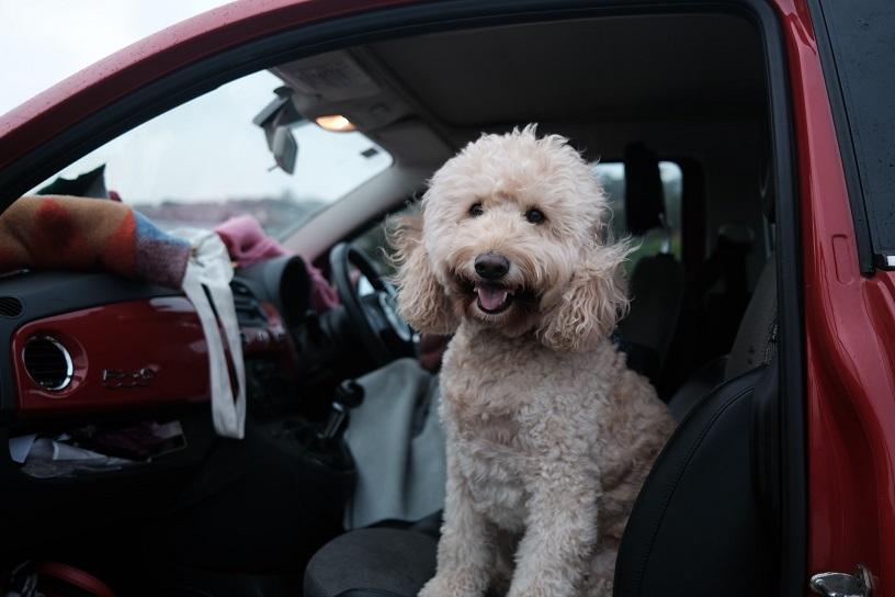 Dog's Car Sickness